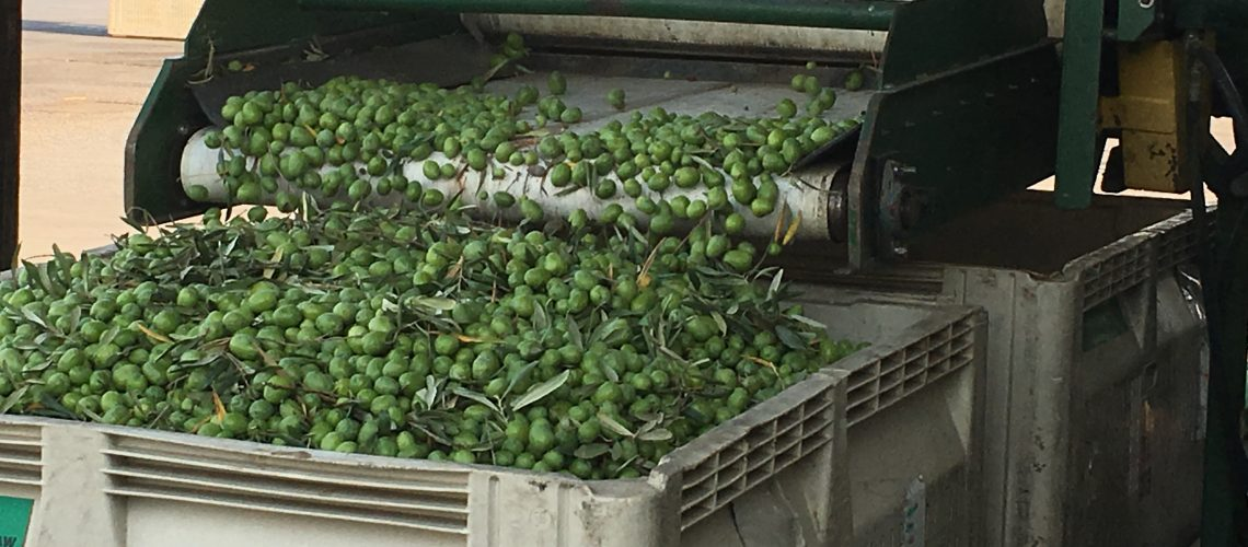 Olives being Processed